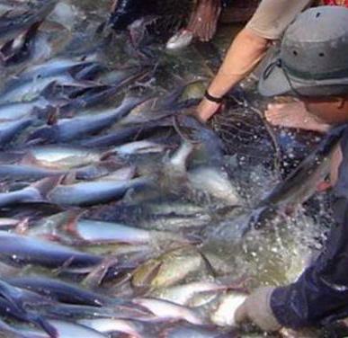 Người nuôi cá tra tiếp tục bỏ ao