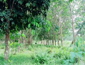 Việt Nam hợp tác trồng cao su tại Angola