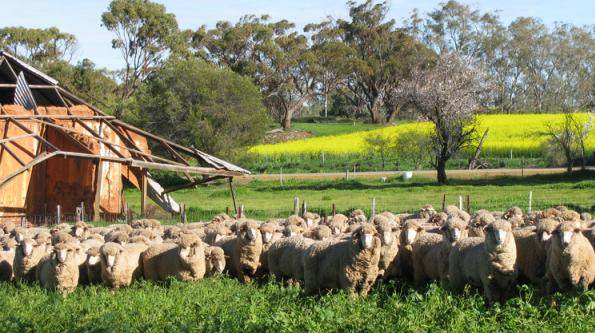 cừu ở ÚC